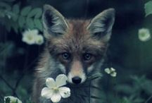 ANIMALS -mostly foxes