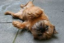 Brussels Griffon / by Sharon Adams