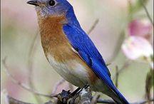 Blu // oc / A Bluebird Oc