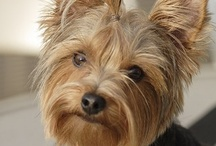 Yorkies / I love our Yorkie Eli. / by Richard Moser