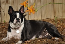 Boston Terriers & Boxers / by Amy Cline