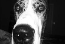 My Great Dane <3 / by Katie Gates