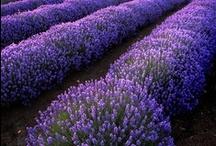 nature ~ lavender / by Nḭ̃c̰̃õ̰l̰̃ḛ̃