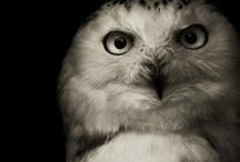animalistic ~ owls / by Nḭ̃c̰̃õ̰l̰̃ḛ̃