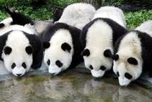 Panda-m~a~n~i~a
