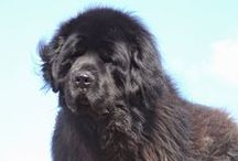 Newfies Gentle Giants / Newfoundland Dogs