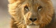 Majestic AF Lions