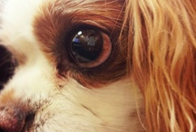 Puppy Love / Dedicated to Doolittle, our Bakery mascot and the cutest King Cavalier Charles Spaniel!  / by Caroline's Cakes