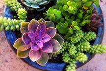 Succulents lovers / #Terrarium #terrarios #plantas #plants # intercambio #passion #succulentlover  / by Jeannette Quiñones-Cantore