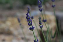 Lovin lavender / Growing, using and cooking with lavender