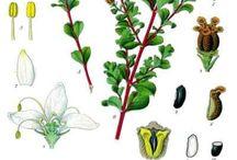 Buchu / The wonderful world of the herb Buchu.  / by Linda Bruinenberg