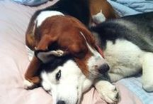 Basset Hounds & Beagles / in honor of my dogs.