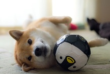 Shiba Inu / in my opinion, the most adorable dog ever / by Anissa