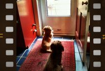 Samson and Charlie Brown / My two miniature long-haired dachshunds. Samson is blond and CB is chocolate.