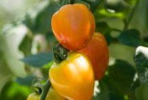 Fruits-Vegetables-Herbs / by Chicago Botanic Garden