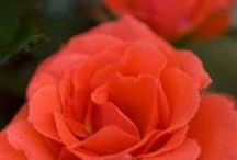 Roses / The roses of Chicago Botanic Garden / by Chicago Botanic Garden