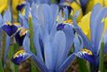Iris / by Chicago Botanic Garden