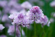 Allium / by Chicago Botanic Garden
