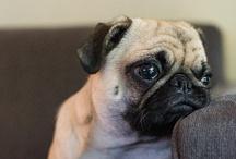 Pugs / by Sonya Sanford