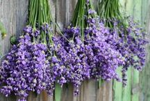 Lavender / by M