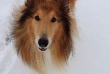 Collies / I love Collies. I have one and she's the best dog in the world!