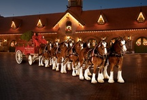 Horses-Clydesdales  / While perusing this board, if you notice a duplicate pin, PLEASE comment it to me. I will delete the offender. I dislike repeating myself but sometimes it happens. / by Christa Gettys