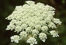 Queen Anne's Lace / This is one of my favorite summer wildflowers.  I pick them from the road side and put them in a vase to enjoy / by Christa Gettys