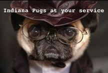 Pugs, Pugs, Pugs ♡ 3 / More wrinkle squishy tons of love comin' atcha / by Christa Gettys