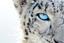 Animals - Cats - Big Cats