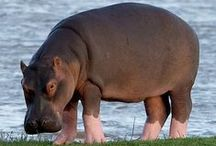Hippos  (group board) / Hippopotamidae / by Bazaars R Us.