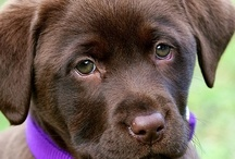 Animals - Dogs - Chocolate Labs