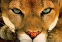 Animals - Cats - Big Cats 2
