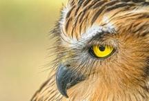 Birds - Raptors
