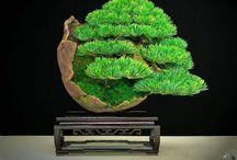 Asian Art - Bonsai
