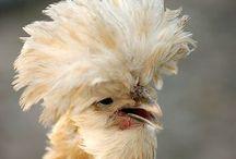 Birds - Fancy Chickens