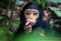 Animals - Gorillas, Apes, et al.