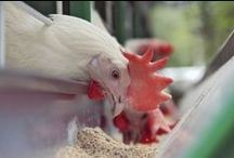 Let's Talk Poultry / This board serves as inspirations for those who are talking about poultry in social media. #AgChat