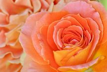 Nature - Flowers - Roses