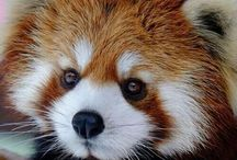 Animals - Red Pandas / The red panda is slightly larger than a domestic cat. It has reddish-brown fur, a long, shaggy tail, and a waddling gait due to its shorter front legs. It feeds mainly on bamboo. It is a solitary animal, mainly active from dusk to dawn, and is largely sedentary during the day.