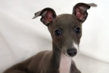 Italian Greyhounds