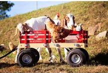 Amish Flyer Wagons / Remember that little red radio flyer wagon that you pulled around your yard as a child?  Just about every kid had one at some point.  Well, the Amish make them using materials only made in the US, which makes them 100% American made!