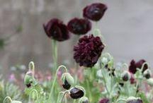 Plum / Plum, mulberry, wine, cranberry, burgundy, aubergine etc. / by Priscilla Gillham