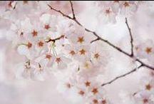 ❀ SAKURA 桜 さくら サクラ / Japanese cherry blossom spring festival Sakura