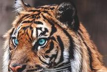 Tigers / Stunning photos of tigers and tiger art.