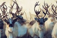 Deer, Elk, Caribou, Moose / Deer, Elk, Caribou and Moose in nature and art