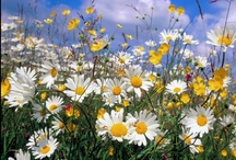 Daisy Fields / Daisies and buttercups are, for me, the essence of childhood summer afternoons.   Grampa B had a whole field next to his house sprinkled with them.   I would sit in the middle of that field and just drink in the clear blue skies overhead, and listen to the birds in the woods nearby.  And just BE a kid in a field in northern Wisconsin on a summer day.   That is what THIS board is all about. / by Debra Hofland