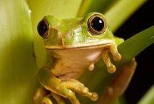 amphibians & reptiles / amphibians and repitles / by Carol Whelan
