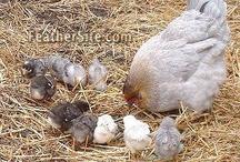 Chicken Coops....Chickens