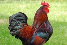 Chicken Breeds & Information