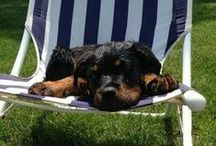 Rottweilers / by pimmy d
